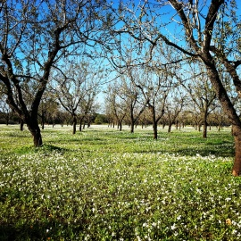 even winter in the Almond Grove is beautiful
